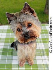 1, viejo, yorkshire, corte del pelo, año, frente, terrier