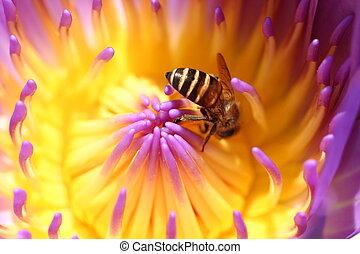 1, waterlily, abeja