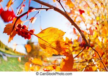 10 月, 空, 上に, 日当たりが良い, 秋, ナナカマド, ベリー