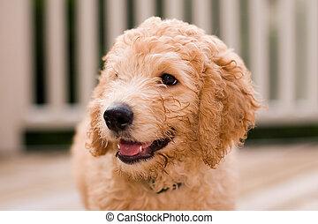 10, junger hund, labradoodle, w