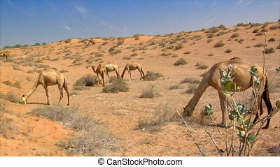 many wild dromedary in desert