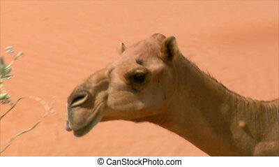 camel walk and look