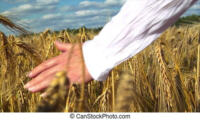 womans hand brushing over wheat fie - 10709 A womans hand...
