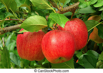 11, arbre, pomme
