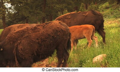 (1113) Bison Grazing on Spring Grass Ranchland with Nursing Calves