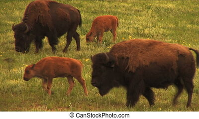 Nice HD shots of buffalo grazing on lush spring field grasses. Great for themes of domesticated animals, ranching, food production, nature, American culture, seasonal, animal babies.
