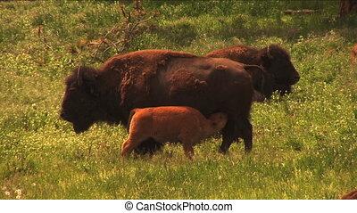 (1113A) Buffalo bison calf nursing - American bisons...