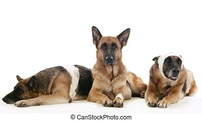 Pet, animal and behavior, purebred alsatian dogs lying down on floor. Studio shot, white background. Part 11 of 14
