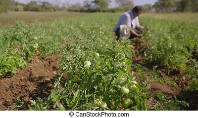 12-Man Farmer Picking Red And Green Tomatoes From Plant -...