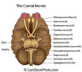 12, nervi, eps8, cranico