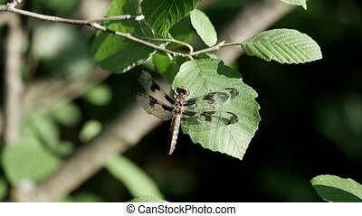 12 spotted skimmer dragonfly resting on a big green leaf.