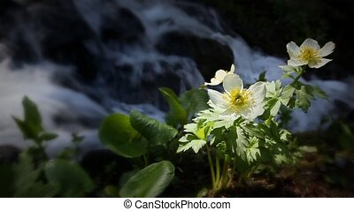 Classic High Mountain Wilderness Wildflowers and Waterfall from Spring Runoff. Themes of outdoors, nature, environment, seasons, summer, spring, tourism, destinations. Looping!