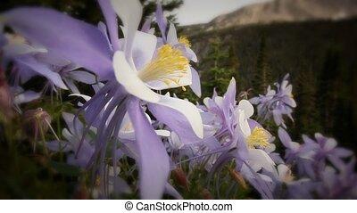 (1221) Summer Columbine Wildflowers