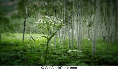(1222) Aspen Wildflowers Summer