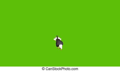 Animation of a large eagle sitting and eating, taking to the sky and landing again with a close up shot, set against a green background