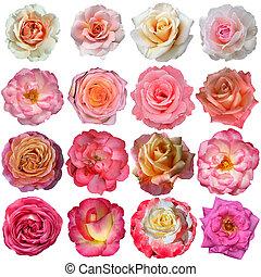 16, róża, odizolowany, tło, białe kwiecie