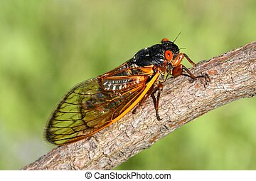 17 Year Cicada (Magicicada) perched on a stick with a green...