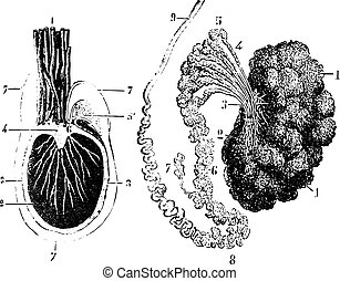 1885., tunica, illustration., 辞書, 睾丸, 型, セクション, -, 交差点, vaginalis, epididymis, labarthe, 刻まれる, 薬, dr, 普通