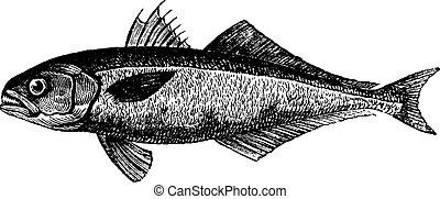 (1886, bluefish, illustration., trousset, vendimia, -,...