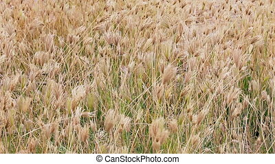 1920x1080 hidef, hdv - Dry prairie grass with seeds swaying in the wind