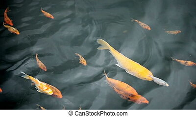 video - Decorative fish - carp - 1920x1080 video -...