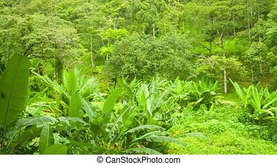 Tropical forest with bananas shrubs. Thailand, Phuket -...