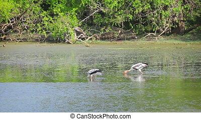 Wading birds Painted Stork