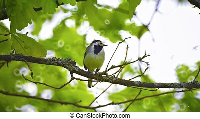 Wagtail. The bird sits on a branch in the forest