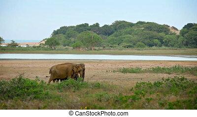Wild elephants graze in the swamp
