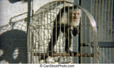 1959: Monkey trapped in cage - Classic vintage 8mm film home...
