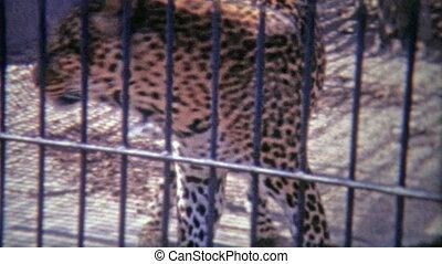 1973: Cheetah pacing around in