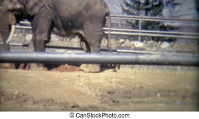 1973: Elephant penis at the zoo - Original vintage 8mm film...