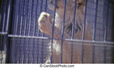 1973: Male lion jumping up on cage