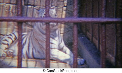 1973: Snow tiger in cage with thick