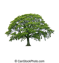 Oak tree in full leaf in summer, over white background.