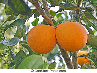 2, オレンジ, 上に, ブランチ