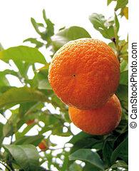 2, オレンジ, 上に, a, tree...