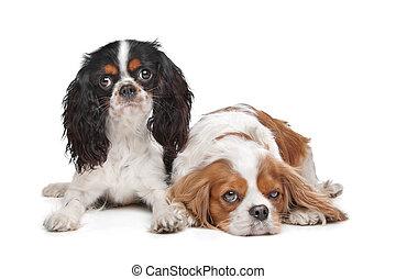 2, チャールズ spaniel 無頓着な 王, 犬