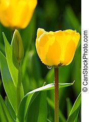 2, チューリップ, 花