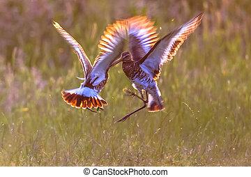 2, マレ, 黒字 - 尾行された, godwit, wader, 鳥, 戦い, 中に, 早朝, ライト
