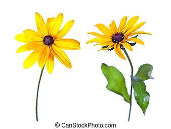 2, 黒い目をしたスーザン, (rudbeckia, hirta), 花, 隔離された, 白