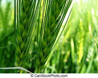 2 barley spikes
