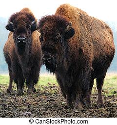 2 Bison