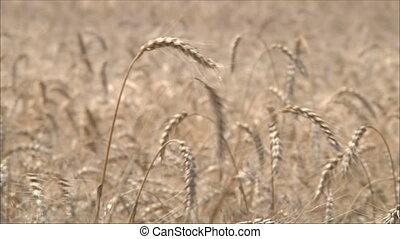 2, blé, oreilles