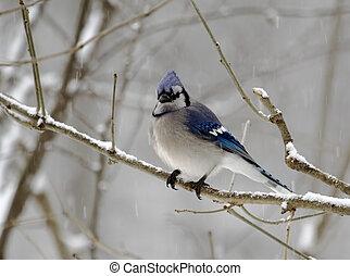 2, bluejay, jour, neigeux
