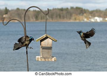 2 Common Grackles (Passeriformes) in flight