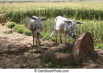2 Donkeys & Egret