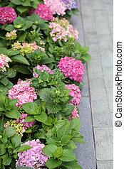 Colorful Hydrangeas , Beautiful flowers. Beauty in nature.