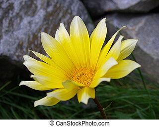 2, flor, amarillo