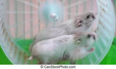 2 hamsters on wheel in cage - Hamsters in cage, close up...
